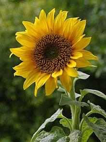 220px-A_sunflower[1]